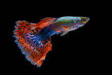 Fish Guppy