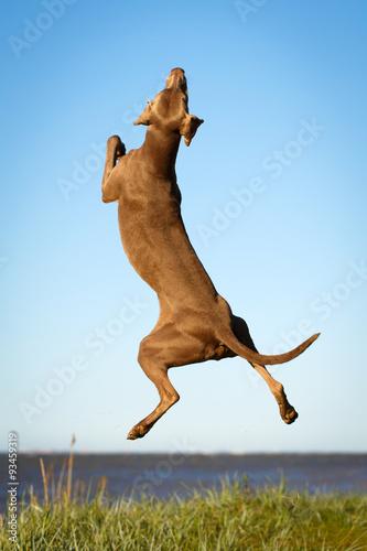 Fototapety, obrazy: weimaraner dog