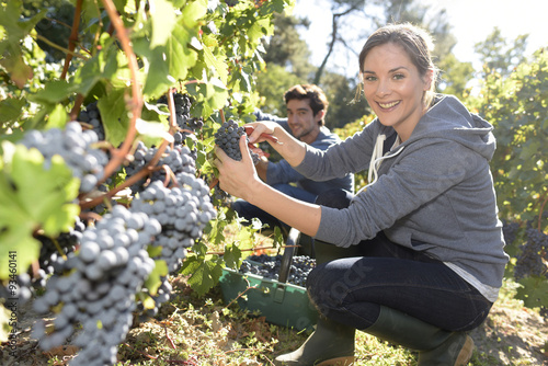 Fotografia  Closeup of young woman picking grape in vineyard