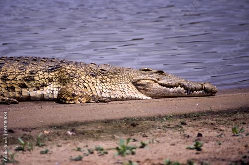 Foto op Plexiglas Krokodil Coccodrillo del Nilo - Nile Crocodile (Crocodylus niloticus) sul fiume Rufiji del Selous Game Reserve in Tanzania