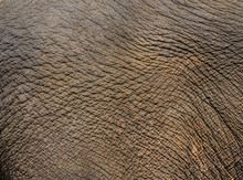 Elephant Face With Detail Of S...
