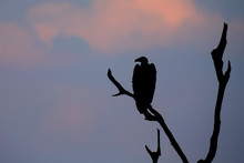 Silhouette Of White Backed Vul...