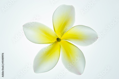 Foto op Canvas Frangipani Frangipani (plumeria) isolated on white background.