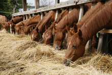 Herd Of Horses Eating Dry Hay ...
