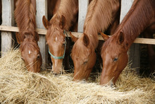 Young Purebred Foals Sharing H...