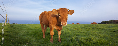 Photo Stands Cow Panoramic view of brown cow