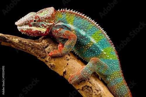 Spoed Foto op Canvas Kameleon Panther Chameleon