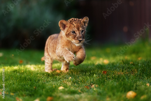 Photo Young lion cub in the wild