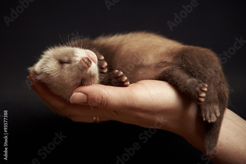 Fotografering  Ferret baby in hand