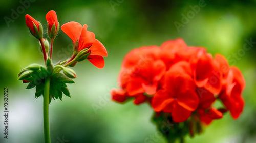 a geranium's life