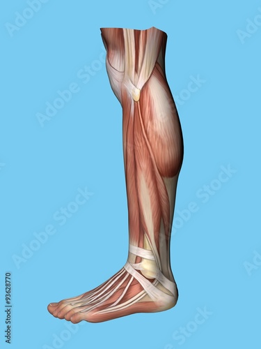 Anatomy Lateral Side View Of Leg And Foot Of A Man Including