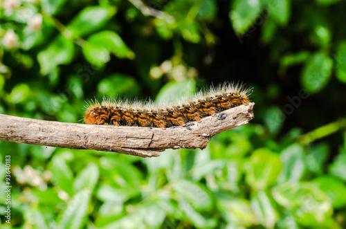 Fotografía  chenille urticante, processionnaire du pin,Thaumetopoea pityocampa