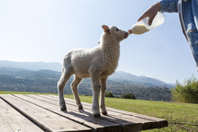 Bottle Feeding Baby Sheep In Nature Background