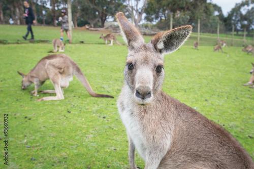 Australian kangaroo in wild life park