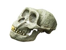 The Skull Of Australopithecus ...