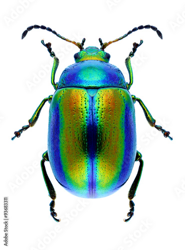 Beetle Chrysolina fastuosa Wallpaper Mural