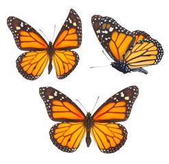 Fototapeta Monarch butterfly