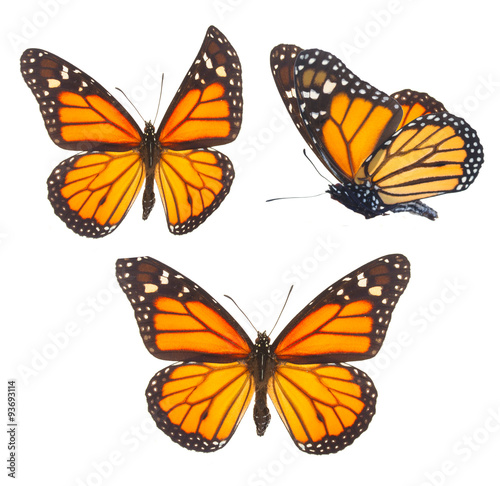La pose en embrasure Papillon Monarch butterfly