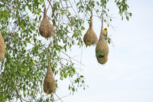 Weaver Bird Nest Hanging From A Tree Near Indian Ocean In Yala National Park, Sri Lanka In December.