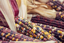 Closeup Of Indian Corn In Autumn