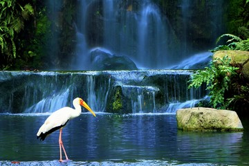Fototapeta Wodospad Yellow-billed Stork bird standing near waterfall