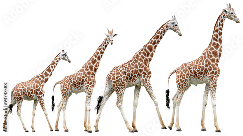 Spoed Fotobehang Giraffe Collection of isolated giraffes in various poses