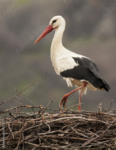 Naklejki Bocian  white-storks-in-nest