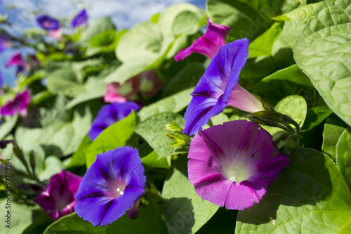 Fotografie, Tablou  Purple and Pink Morning Glory Flowers