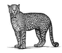 Engrave Leopard Illustration