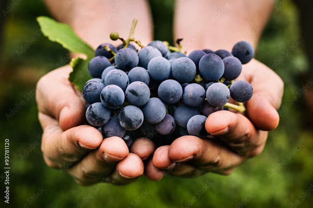 Fototapety, obrazy: Grapes harvest