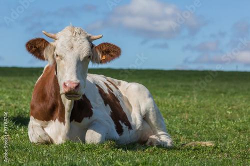 Canvastavla vache montbéliarde
