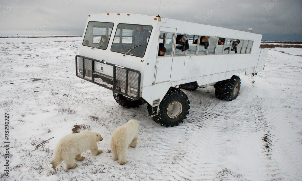 The polar bear came very close to a special car for the Arctic safari. Canada. Churchill National Park. An excellent illustration for travel agencies.