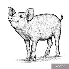 Engrave Pig Illustration