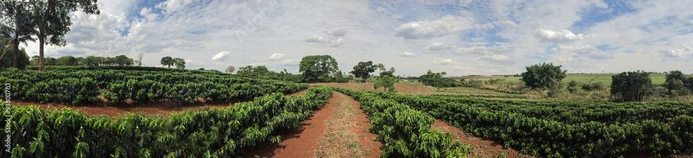 Fototapety, obrazy: Young coffee plantation skyline landscape