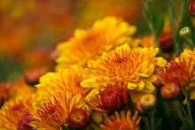 Autumn Mums Or Chrysanthemums In Bloom