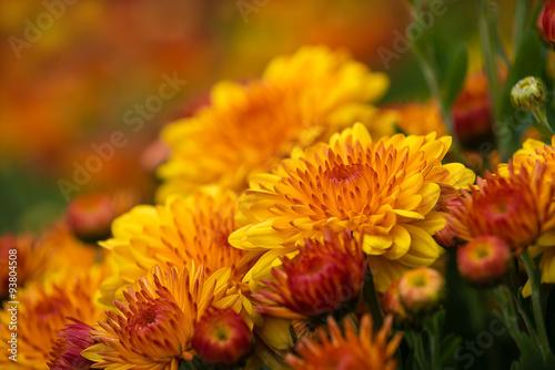 Stampa su Tela Autumn Mums or Chrysanthemums in bloom