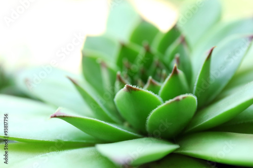 Photo sur Toile Vert Beautiful succulent plant close up