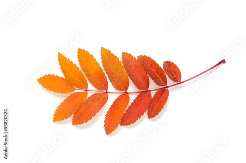 Fotografie, Obraz  orange leaves mountain ash with stains isolated on a white