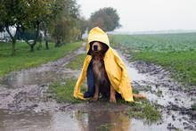 Hund Im Regen Sitzt In Einer P...