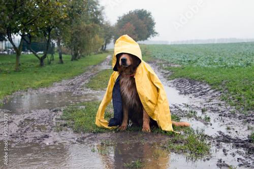 Poster Chien Hund im Regen sitzt in einer Pfütze