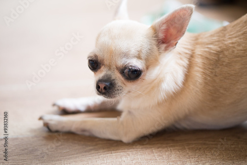 Photographie  Cute little tan color Chihuahua with Strawberry