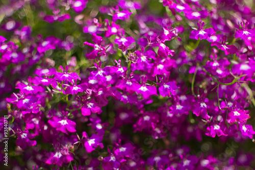 Purple Lobelia Lobelia Inflata Also Called Indian Tobacco Buy