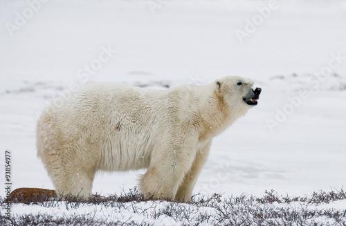 Foto op Aluminium Ijsbeer A polar bear on the tundra. Snow. Canada. An excellent illustration.
