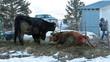 Cow in labor for birth farmer son watching HD 5112