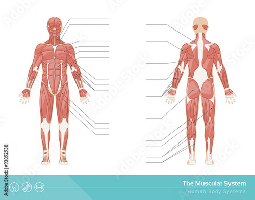 Fotografie, Obraz  The muscular system