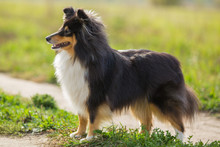 Sheltie Dog Standing On The Background Of Green Field