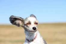 A Small White Dog With Big Ears Enjoys The Sun And Wind