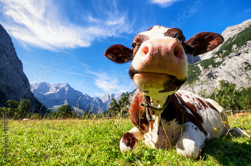 Photo Stands Cow karwendel mountains