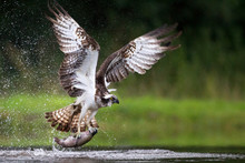 Osprey Fishing And Hunting On ...