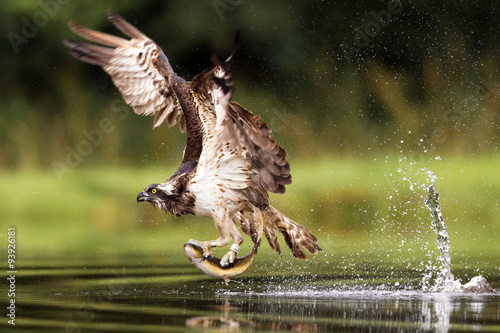 Poster Chasse Osprey fishing and hunting on a Scottish loch.